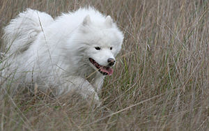 Samoyed dog - An active Samoyed