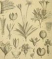 Die Natürlichen Pflanzenfamilien - nebst ihren Gattungen und wichtigeren Arten, insbesondere den Nutzpflanzen (1887) (20749172319).jpg