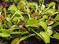 Dionaea muscipula, exhibition in Botanical garden Brno.JPG