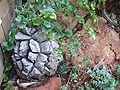 Dioscorea elephantipes.JPG