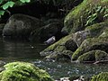Dipper on the River East Allen - geograph.org.uk - 846064.jpg