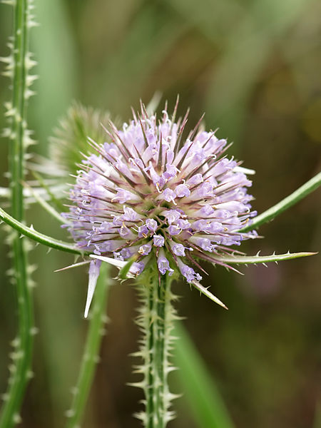 Cut-leaved Teasel close to Pleuville, Charente, France