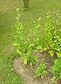 Dipsacus pilosus plant (13).jpg