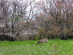 Spence Field - Deer grazing at Spence Field.