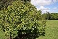 Dombeya mauritiana.JPG