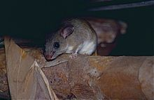 Dormouse Tufted-tailed Rat (Eliurus myoxinus) (9579527484).jpg