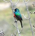 Double-collared sunbird 47 (3545453440).jpg
