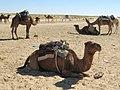 Douz Camels (39634864445).jpg