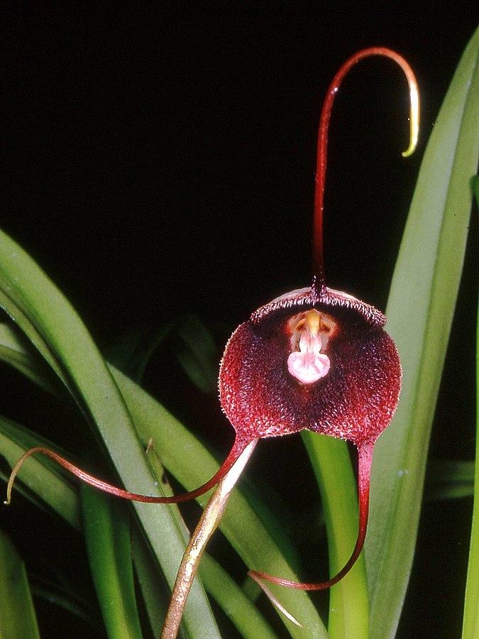 Орхидея дракула черная в домашних условиях