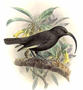 alt=Description de l'image Drepanis funerea-Keulemans.jpg.