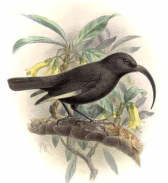 Black mamo - Black mamo (Drepanis funerea)