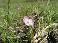 Drosera peltata flower2 (15220016120).jpg