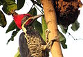 Dryocopus lineatus (Carpintero real) (24726306281).jpg