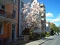 Dubsstrasse-Magnolie - panoramio.jpg