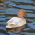 Duck on Yeadon Tarn (13th November 2010) 001.jpg