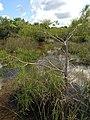 Dwarf Cypress - panoramio (4).jpg