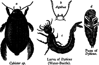 Water beetle - Water Beetles (Dytiscidae). a, Beetle (Cybister sp.); b, head of beetle with feelers and gunts (Agabus); c, larva (Larva of Dyticus, Water Beetle); d, pupa (Pupa of Dyticus).