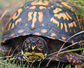 Eastern Box Turtle2.jpg