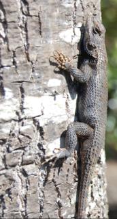 Eastern fence lizard species of reptile