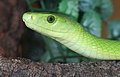 Eastern Green Mamba Dendroaspis angusticeps.jpg
