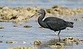 Eastern Reef Egret (27186289917).jpg
