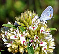 Eastern Tailed-Blue (Cupido comyntas) on Round-Headed Bush Clover (Lespedeza capitata) (7736859360).jpg