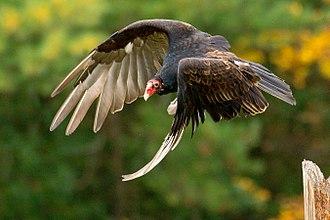 Turkey vulture - A turkey vulture in flight, C. a. septentrionalis (Canada)
