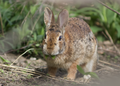 Eastern cottontail (Sylvilagus floridanus) facing front. Medford, Massachusetts, United States 03.png