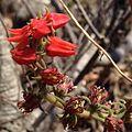 Echeveria coccinea flor.jpg