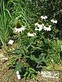 Echinacea purpurea 'Primadonna White'1.jpg