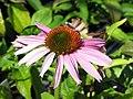 Echinacea purpurea Bright Star 0zz.jpg