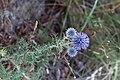 Echinops ritro-3018 - Flickr - Ragnhild & Neil Crawford.jpg