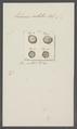Echinus costatus - - Print - Iconographia Zoologica - Special Collections University of Amsterdam - UBAINV0274 107 02 0026.tif