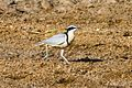 Egyptian Plover (Pluvianus aegyptius) at the Bénoué National Park 02.jpg