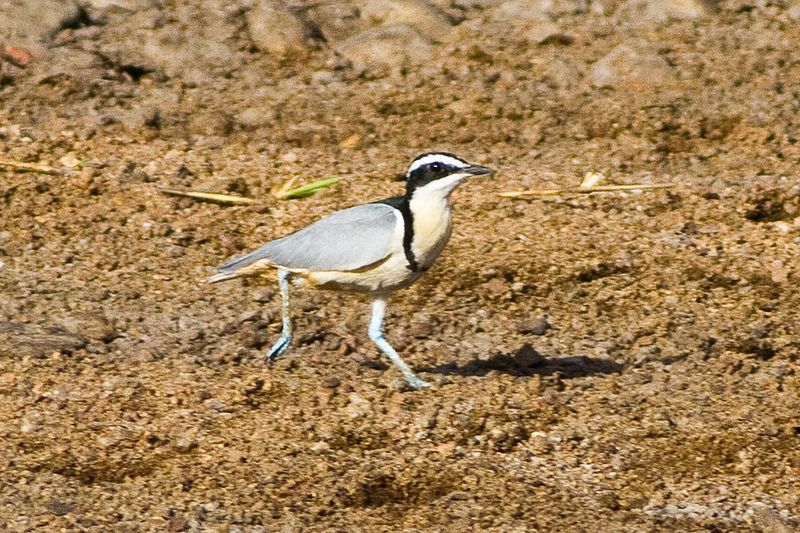 File:Egyptian Plover (Pluvianus aegyptius) at the Bénoué National Park 02.jpg