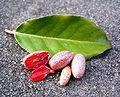 Elaeagnus ebbingei Frucht4.jpg