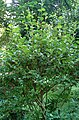 Elaeagnus multiflora kz6.jpg