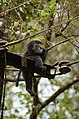 Electrocuted lion-tailed macaque infant in Valparai DSC 2579.jpg