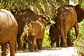 Elephant family taking up the road (5232704000).jpg
