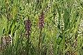 Elephanthead lousewort beside Sierra bog orchid in Utah - Flickr - Andrey Zharkikh.jpg
