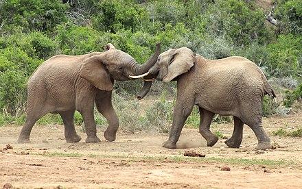 Afrikanischer Elefant - Wikiwand
