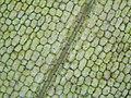 Elodea canadensis plant histology.jpg