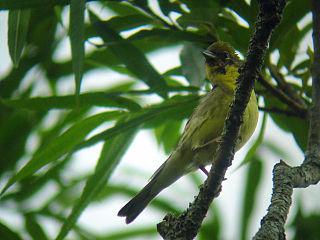 Yellow bunting species of bird