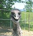 Emu head - 1.jpg