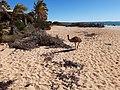 Emu running on the beach at Monkey Mia, July 2020 02.jpg