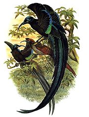 Epimachus fastuosus by Bowdler Sharpe.jpg