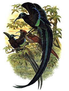 Resultat d'imatges de l'ocell del paradís