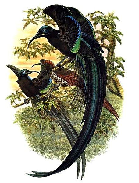 File:Epimachus fastuosus by Bowdler Sharpe.jpg
