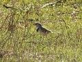Epthianura albifrons (30769685718).jpg