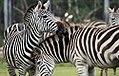Equus quagga boehmi 14zz.jpg